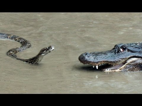 Python Vs Crocodile Fight Video