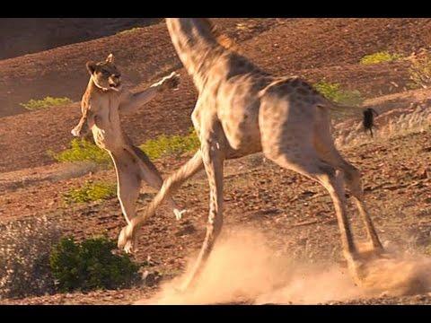 Lion Vs Giraffe Real Fight Video