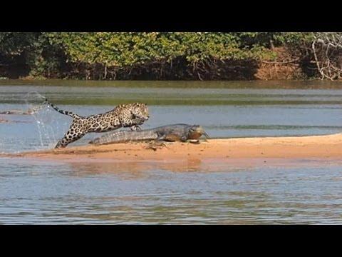Jaguar Vs Crocodile Real Fight Video