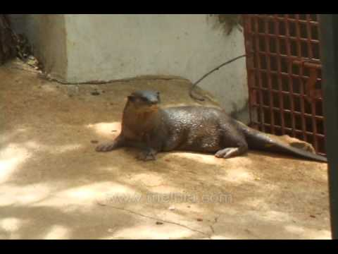 Common otter Video - Lontra canadensis Mustelidae sea water dog