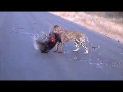 Leopard Vs Porcupine Fight Video
