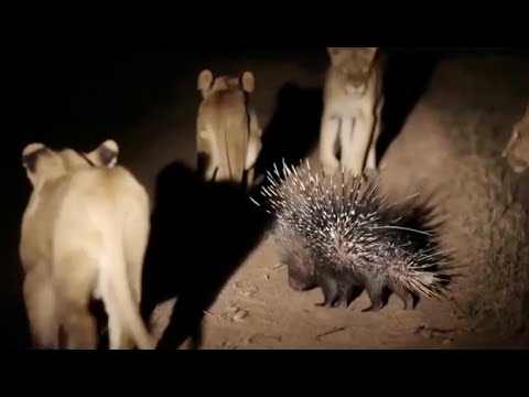 Porcupine Vs Lion Fight Video