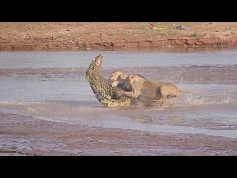 Lion vs Crocodile Fight Video Free