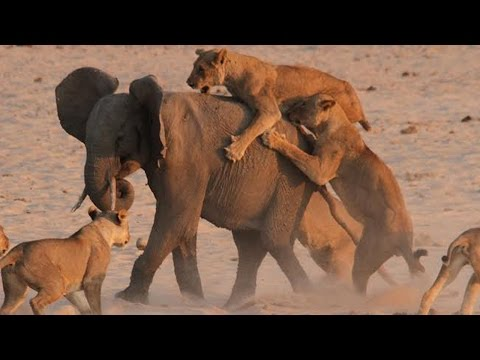 Lion vs Elephant Real Fight Video - Who would win