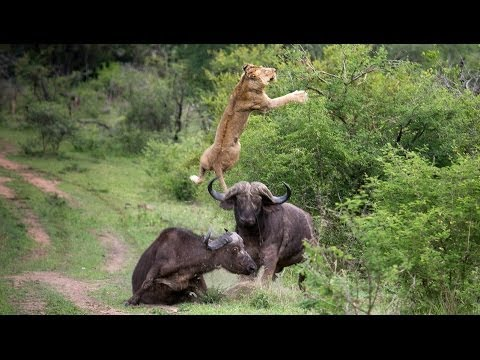 Lion vs Buffalo Real Fight Video Free Download