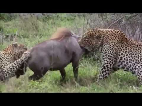 Leopard Vs Warthog Real Fight Video