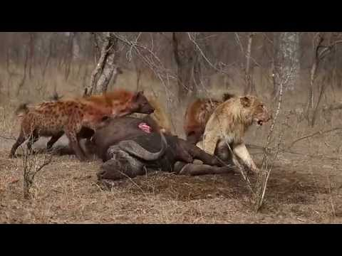 Lion vs Hyena Real Fight In Jungle Video